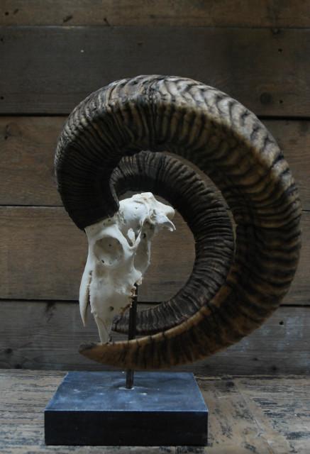 Capital mouflon skull on a stone base.