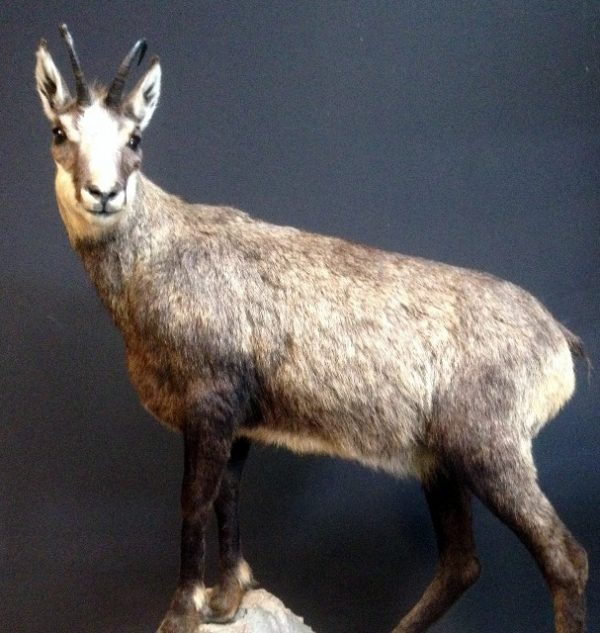 Unique recently stuffed chamois