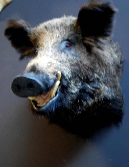 Stuffed head of a large wild boar