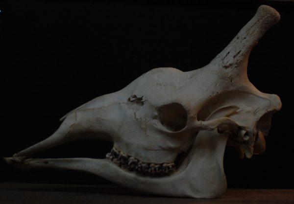 Unique old skull of a giraffe.