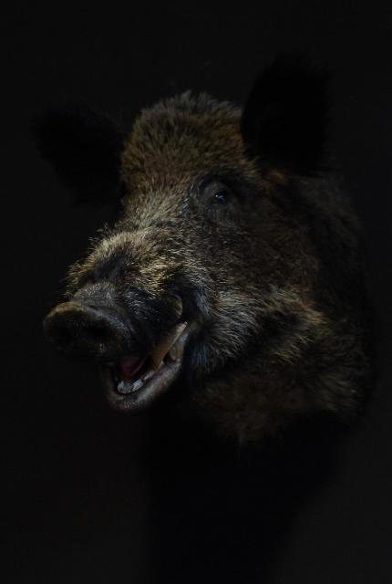 Opgezette kop van een groot wild zwijn