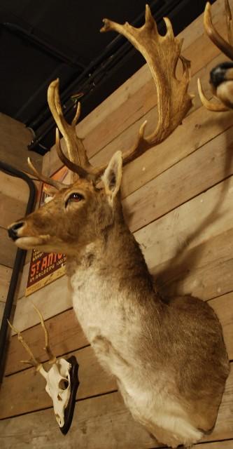Beautiful stuffed head of a fallow deer.