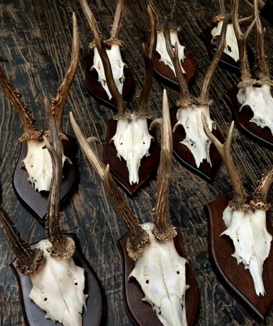 Antlers of very large roe buck