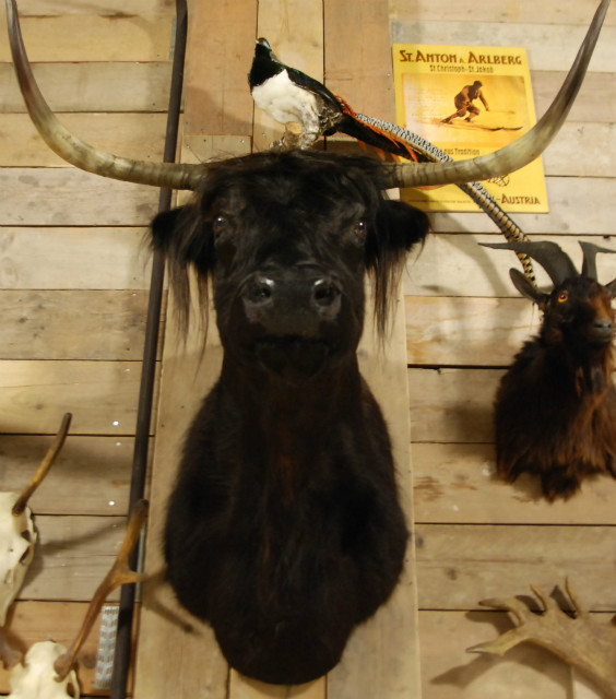 Stuffed head of a Scotish highland cow.