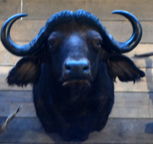Big trophy head of a Cape buffalo