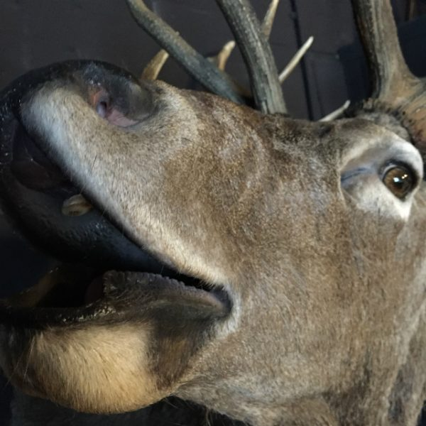 Excelent trophy head of a big red stag.