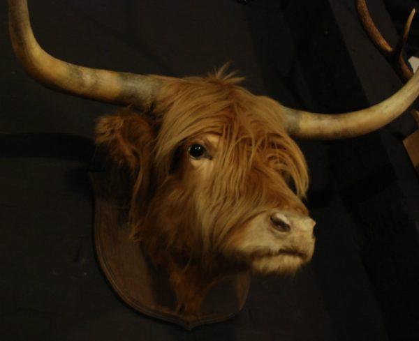 Stuffed head of a Scotish highland bull