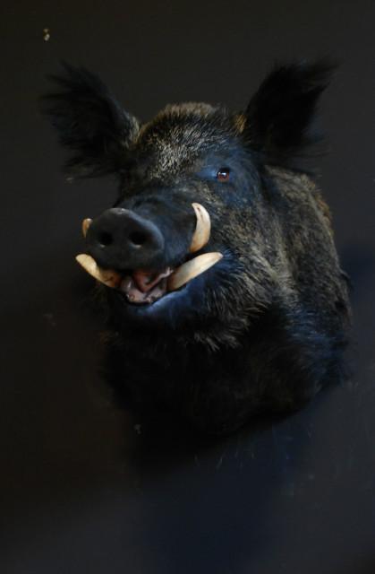 Stuffed head of a hughe wild boar.