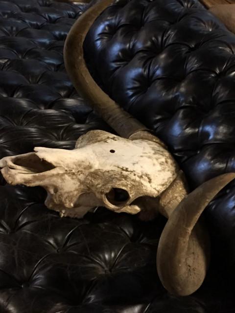 Unique skull of a Scottish highlander bull.