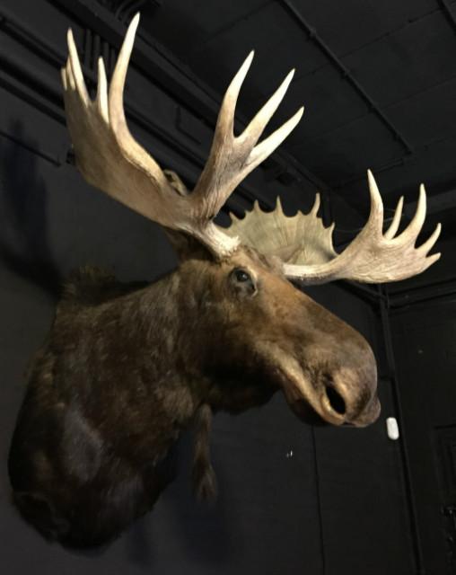 Huge stuffed head of a Canadian moose