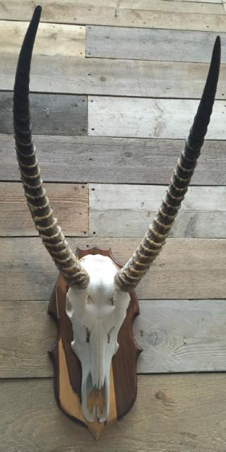 Mooie complete schedel van een waterbok