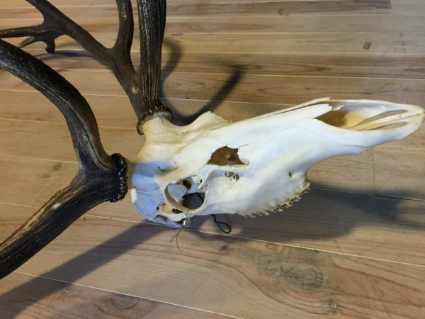 Antlers with skull of a very large red deer.