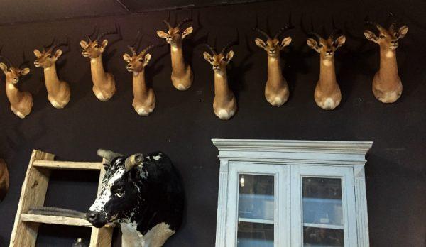 New stuffed heads of impalas