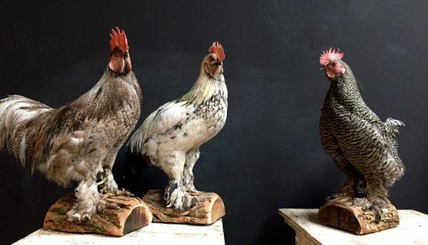 Recent opgezette grote hanen