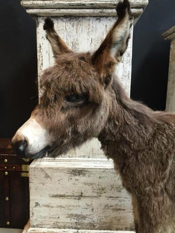 Very nice stuffed donkey foal. The donkey is very well preserved and stands on a wooden panel w