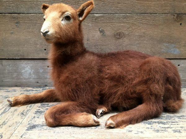 Recent stuffed lamb.