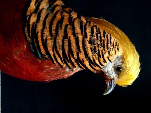 stuffed golden pheasant