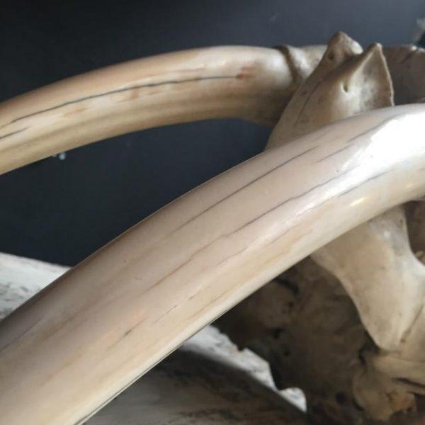 Antieke walrus schedel