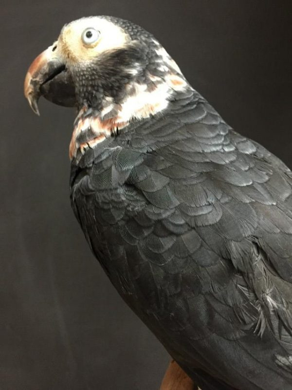 New stuffed grey parrot
