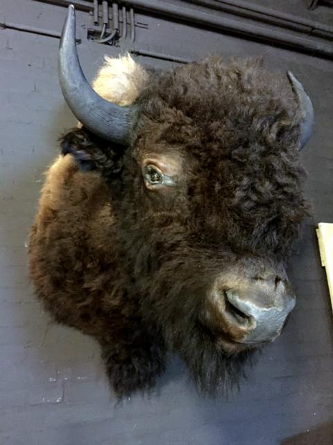 Recent opgezette kop van een gigantiche Amerikaanse bizon