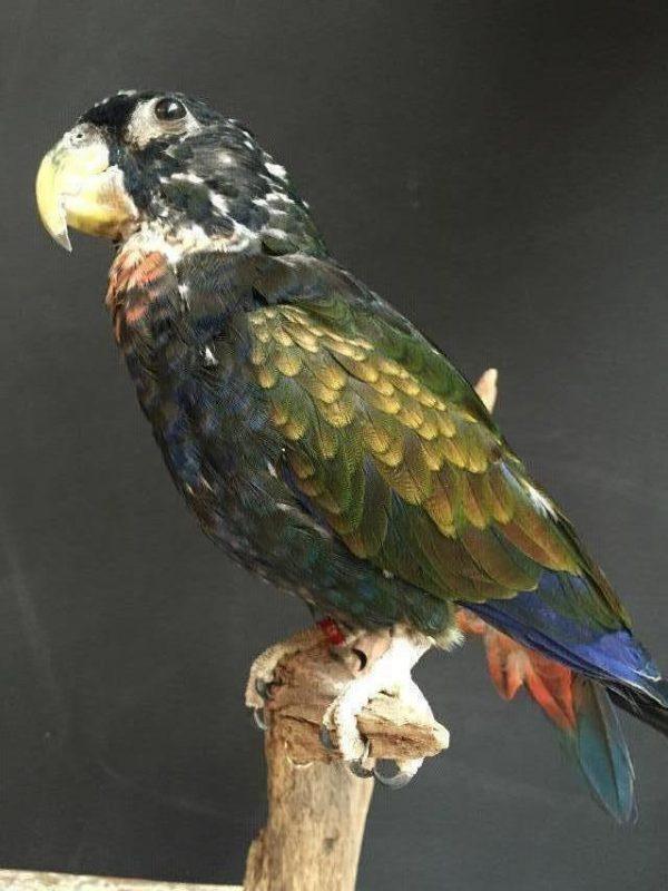 Recentley stuffed bronze winged parrot