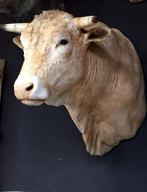 Opgezette kop van een kolossale stier.