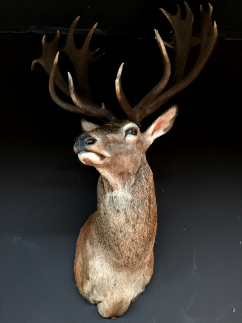Very impressive stuffed head of an extremely big red stag.