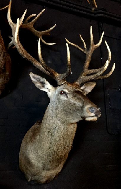 Impressive hunting trophy of a big red stag.