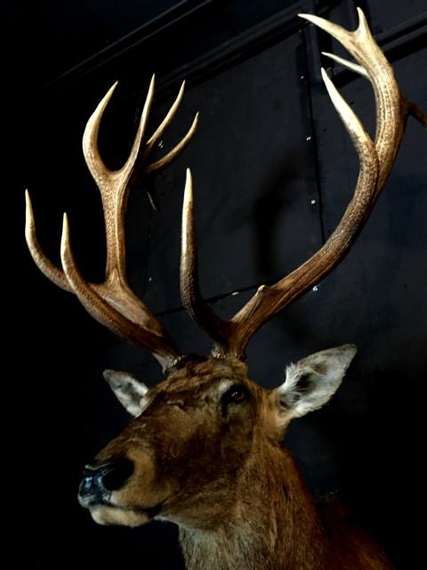 Imposante opgezette kop van een kapitaal edelhert