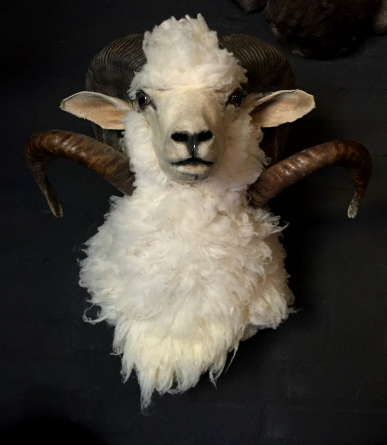 Nice trophy head of a big ram
