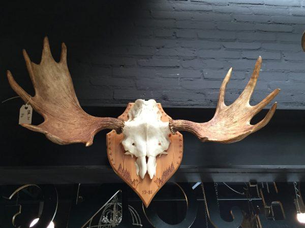 Heavy pair of antlers of a Scandinavian moose.