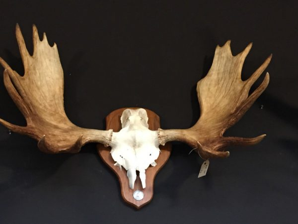 Zwaar gewei van een Scandinavische eland.