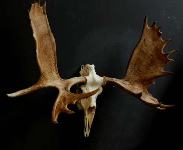 Grote schedel van een Canadese eland.