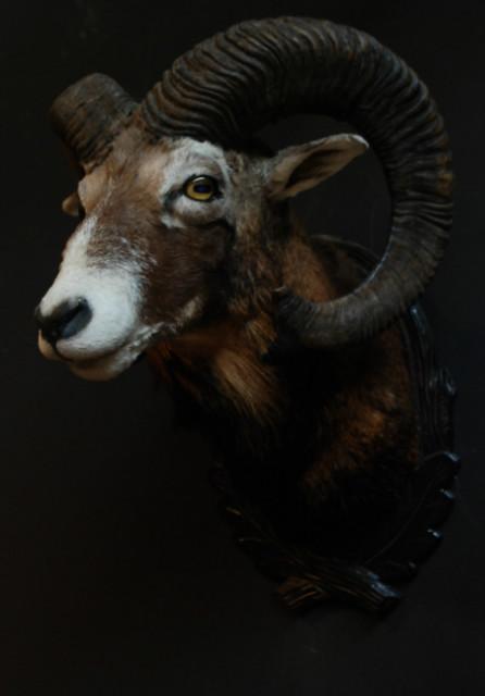 Hunting trophy of a big mouflon ram.