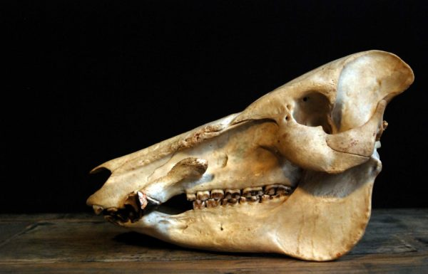 Old skull of an African Bushpig