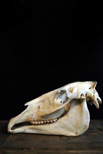 Oude schedel / studiemodel van een paard