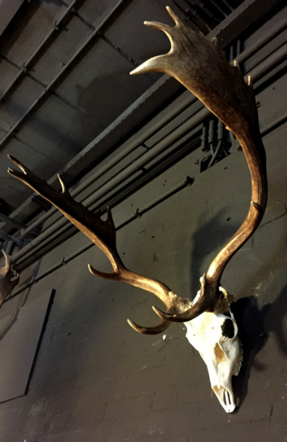 Heavy pair of antlers with whole skull of a big fallow deer