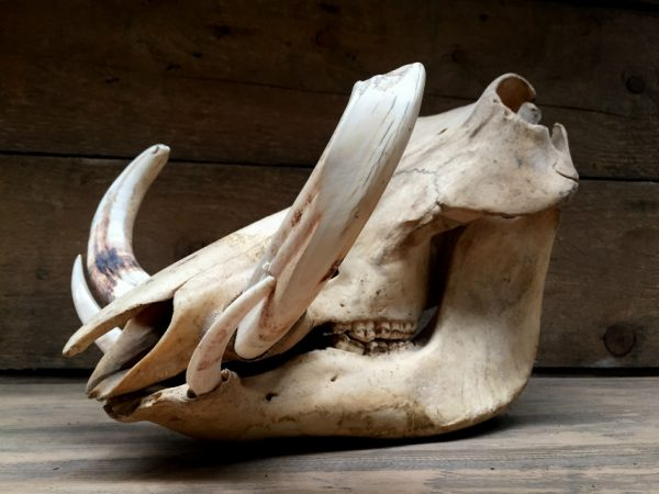 Ancient skull of a big warthog