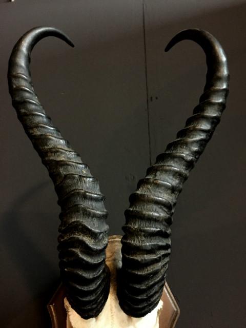 Skull of a springbok
