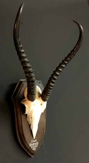 Skull of a female springbok
