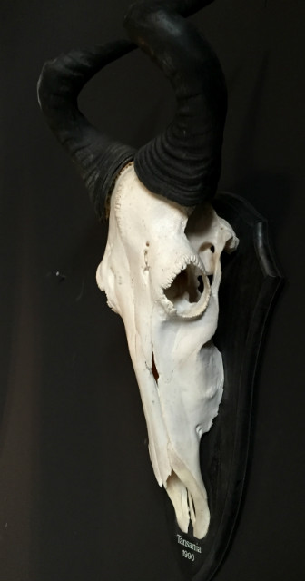 Large skull of a Coke hartebeest