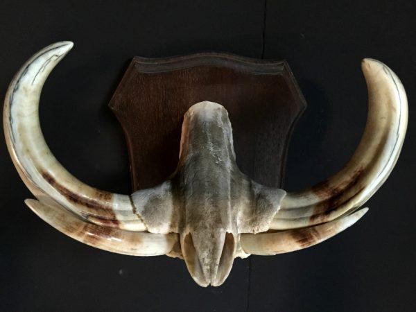 Muzzle part of a big warthog