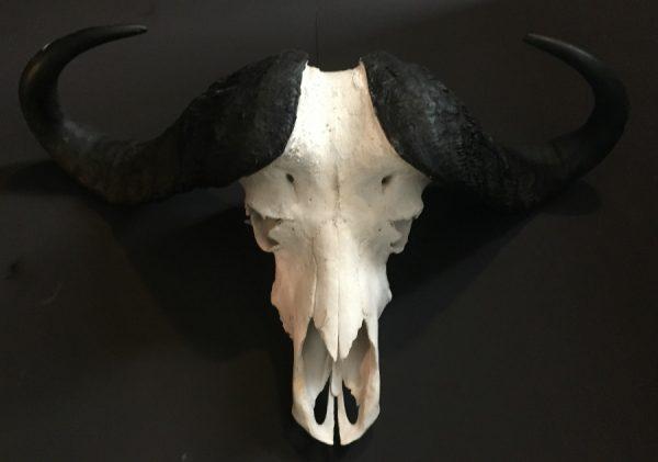 Zware schedel van een Kaffer buffel.