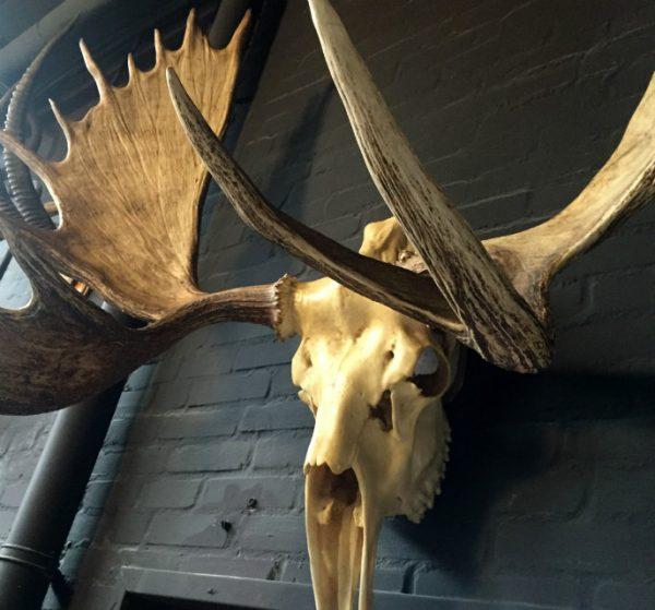 Big skull of an Alaskan Moose
