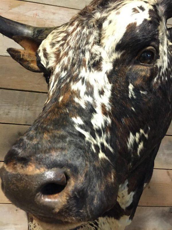 Impressive stuffed head of a giant Nguni Bull