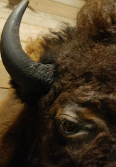 Zeer imposante opgezette bizon kop