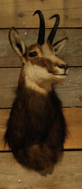 Unique stuffed head of a chamois