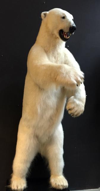 Zeer grote opgezette ijsbeer