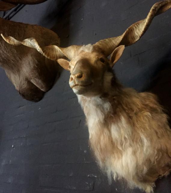 Stuffed head of a racka sheep