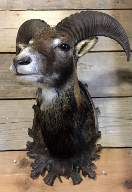 Stuffed head of a young mouflon ram